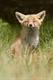 sleeping red fox wallpapers 601 best the little red fox images on pinterest red fox foxes