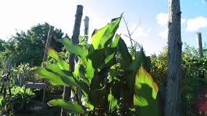 growing tropical plants in my cold climate backyard update youtube