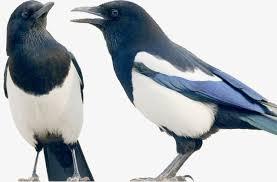 imagenes del animal urraca dos urracas aves aves animal archivo png y psd para descargar gratis