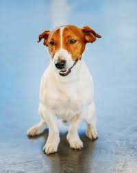 australian shepherd jack russell mix information about the fiery and loyal beagle jack russell mix breed