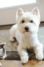 images of westie hair cuts image result for westie hair cuts dogs pinterest westies