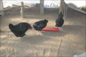 the chicken chicken coop litter sand the litter superstar