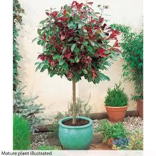 standard photinia u0027red robin u0027 christmas gift standard plants