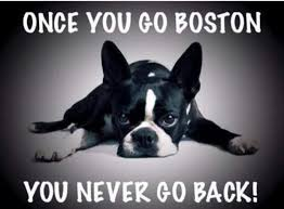 Boston Terrier Meme - 321 best boston terriers images on pinterest pets doggies and