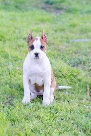 american pitbull terrier z hter deutschland american staffordshire terrier