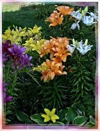 Asian Lilies Exploring The Beauty Of Flower Photography