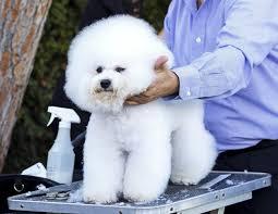 wszystko o bichon frise rasy psów nie gubiące sierści