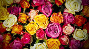 roses colors different colors of roses and their meanings gift them