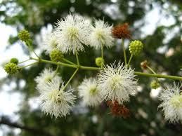 native brazilian plants mimosa bimucronata images useful tropical plants