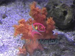 freshmarine carnation coral dendronephthya species