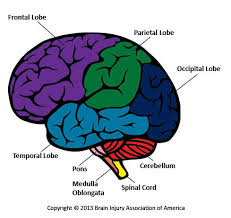 What Is The Main Function Of The Medulla Oblongata Living With Brain Injury Biaa