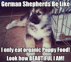 German Meme - 20 cute and funny german shepherd memes sayingimages com