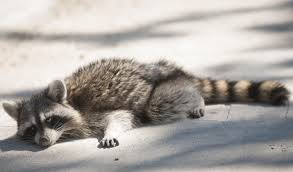 Raccoons In Backyard Dog Owners Warned Of Raccoons Infected With Canine Distemper