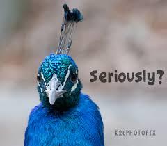 Peacock Meme - peacock meme k26 fonts