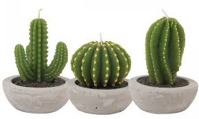 looking sharp how the cactus became the world u0027s most wanted plant