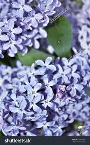 lilac bush spring stock photo 164215049 shutterstock