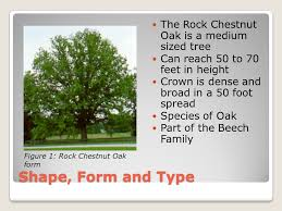 rock chestnut oak quercus montana willd by crider 06 23 10