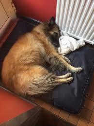 belgian shepherd uk belgian shepherd rescue uk home facebook