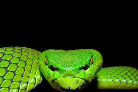 a green snake wallpapers gumprechts green pit viper snake photos pinterest reptiles
