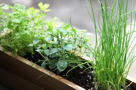 Window Sill Garden Inspiration Gardening Shade Tolerant Herbs To Grow In Your Apartment
