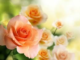 Flower Com Roses