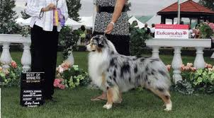 south dakota australian shepherd aussie breeder infomation akc asca australian shepherds