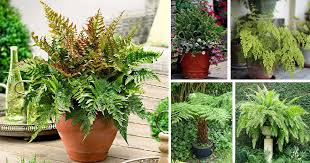21 best ferns for containers that you can grow indoors u0026 outdoors