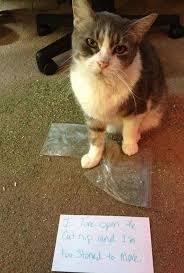 Mad Kitty Meme - 20 mug shots of unapologetic criminal cats meowingtons