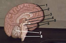 Gross Brain Anatomy Brain Quiz