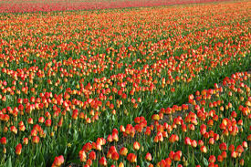 tulip field background free stock photo public domain pictures