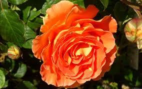 shades of orange mlewallpapers com orange rose i