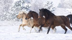 miniature horse u0027s running in snow full hd wallpaper and