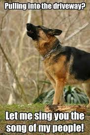 australian shepherd meme australian shepherd smart working dog german shepherds dog