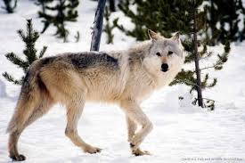 michigan inaugural wolf season set to open huntwolves com