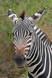 file zebra portrait jpg wikipedia
