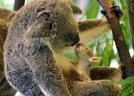 846 best koalas images on pinterest adorable animals animal