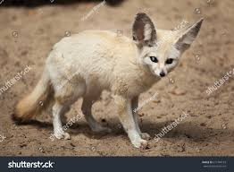 fennec fox vulpes zerda wildlife animal stock photo 671784163