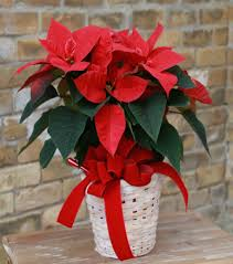 holiday poinsettia cedar floral flowers and gifts