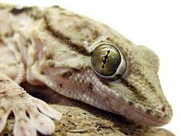 Ringed Map Turtle Tsammalex Tarentola Annularis Ringed Wall Gecko