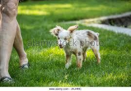 australian shepherd yard art australian shepherd dog red stock photos u0026 australian