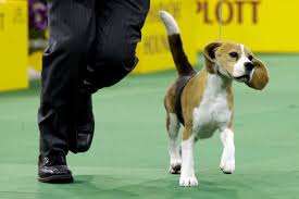 afghan hound westminster tail wagging beagle wins best in show at westminster houston
