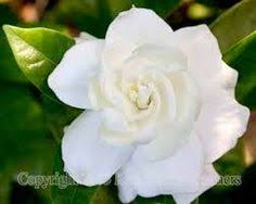 white flower beautiful white flower at garden flowers wallpaper hd phone