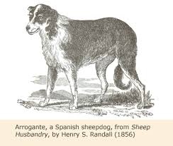 australian shepherd in spanish a view of australian shepherd history u2013 working aussie source