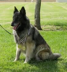 belgian sheepdog puppies for sale belgian tervuren for sale