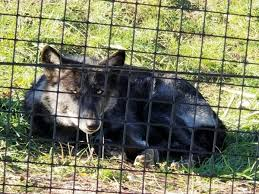 Indiana wildlife tours images Howl with wolves at this southern indiana wildlife sanctuary jpg