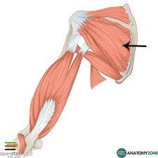 Innervation Of Infraspinatus Infraspinatus U2022 Muscular Musculoskeletal U2022 Anatomyzone