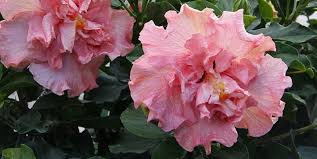 Which State Has A Hibiscus by Winter Hibiscus Care Tips Costa Farms