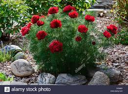 peony flowers in a garden paeonia lactiflora in a garden stock