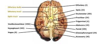 Sheep Heart Anatomy Quiz Brain Anatomy Diagram Virtual Brain Anatomy 3d Surgery Mri Quiz