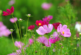 flowers to direct sow in the garden planet natural